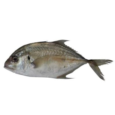 supplier ikan kuwe